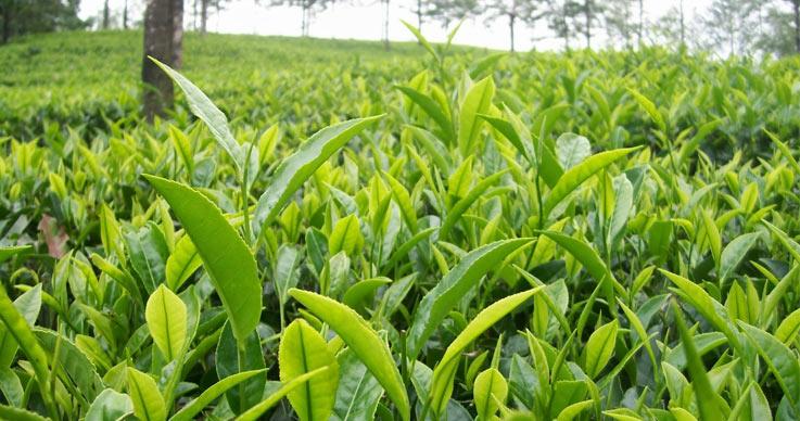 plantations-of-india.jpg
